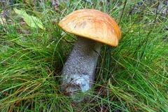Bolete mushroom Royalty Free Stock Images