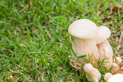 Bolete Royalty Free Stock Images