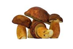 Bolete mushroom Stock Image