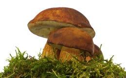 Bolete mushroom Royalty Free Stock Image