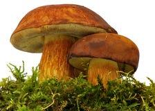 Bolete mushroom Stock Images