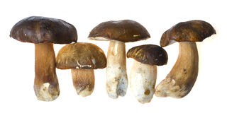Bolete mushrooms Royalty Free Stock Photography