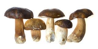 Bolete mushrooms. Row of brown bolete mushrooms isolated on white background Royalty Free Stock Photography