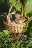 Bolete mushrooms in a basket Royalty Free Stock Photos
