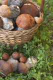Bolete mushrooms in a basket Royalty Free Stock Images