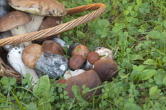 Bolete mushrooms in a basket Royalty Free Stock Image
