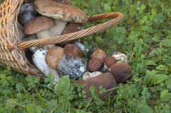 Bolete mushrooms in a basket Royalty Free Stock Photo
