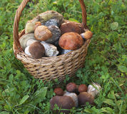 Bolete mushrooms in a basket Stock Images