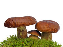Bolete mushrooms in moss isolated on wh Stock Photography