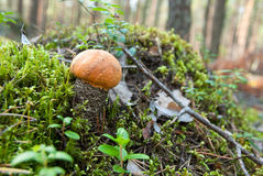 Bolete orange de bouleau Image stock