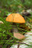 Bolete orange de bouleau (versipelle de Leccinum) Photos libres de droits