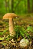 Boleto, cogumelo Fotos de Stock