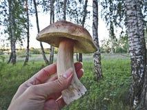 Boleto de la seta a disposición en un fondo del bosque del abedul imagen de archivo
