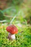 Boleto de la seta o del anaranjado-casquillo de Aspen en el musgo del bosque del otoño Fotos de archivo libres de regalías