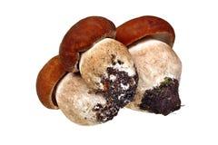 Boleto de três cogumelos Fotografia de Stock