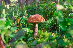 boleto del Anaranjado-casquillo en el fondo del bosque verde imágenes de archivo libres de regalías