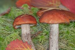 boleto del Anaranjado-casquillo que crece en esfagno verde del musgo en el bosque Cep de dos setas del bosque en bosque del otoño Foto de archivo
