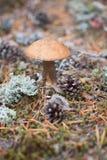Boleto del casquillo de Brown en bosque Foto de archivo