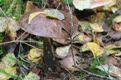 Boleto del casquillo de Brown en el bosque Fotografía de archivo libre de regalías