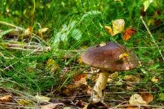Boleto del casquillo de Brown en el bosque Foto de archivo