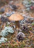 Boleto del casquillo de Brown que crece en madera norteña Imágenes de archivo libres de regalías
