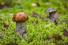 boleto do Alaranjado-tampão e boleto na floresta Imagem de Stock