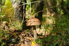 Boleto do cogumelo Fotografia de Stock Royalty Free