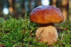 Boleto do cogumelo Imagem de Stock