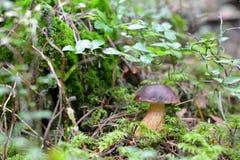 Boleto do cogumelo na floresta imagens de stock