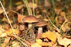 Boleto do cogumelo nas madeiras Foto de Stock