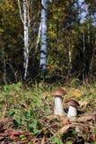 Boleto dos en un bosque del abedul Fotografía de archivo libre de regalías