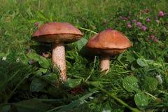 Boleto en la hierba en la búsqueda del bosque y la colección de setas en la comida sana y sabrosa del bosque Fotografía de archivo