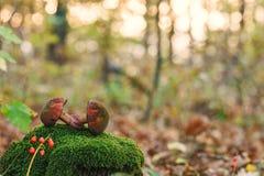 Boleto espeluznante de dos setas comestibles en musgo en bosque del otoño en el fondo de la naturaleza del primer de la puesta de fotos de archivo libres de regalías