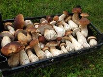 Boleto fresco do cogumelo na caixa Fundo dos cogumelos do cepa-de-bordéus do outono Imagens de Stock