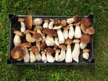 Boleto fresco do cogumelo na caixa Fundo dos cogumelos do cepa-de-bordéus do outono Foto de Stock