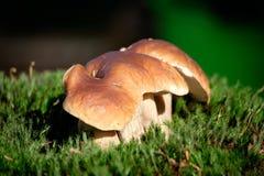 Boletus μανιτάρια στο βρύο στο δάσος Στοκ Φωτογραφίες