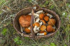 Boletus μανιταριών πορτοκαλής-ΚΑΠ στο καλάθι Στοκ εικόνες με δικαίωμα ελεύθερης χρήσης