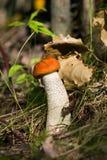 Boletus μανιταριών στο δάσος Στοκ Φωτογραφία