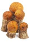 Boletus πορτοκαλής-ΚΑΠ Στοκ φωτογραφίες με δικαίωμα ελεύθερης χρήσης