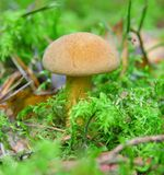 Boletus. Yellow mushroom in green to a moss small depth of sharpness Royalty Free Stock Photo