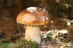 Boletus Royalty Free Stock Photos