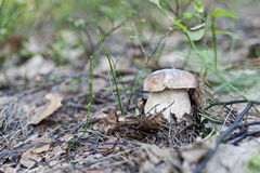 Boletus. Nice boletus in a natural scenery Stock Image
