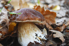 Boletus. Royalty Free Stock Photos