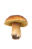 Boletus. Boletus isolated on white background Stock Images