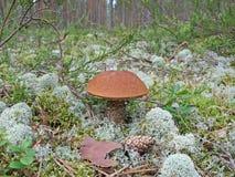 Boletus aurantiacus Stock Image