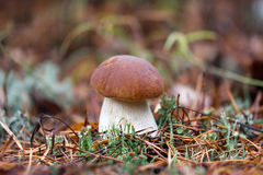 Boletus in autumn forest Stock Photos