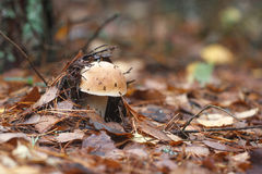 Boletus in autunno forest_01 Fotografie Stock Libere da Diritti