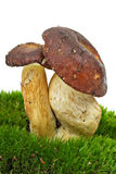 Boletus badius Royalty Free Stock Photo
