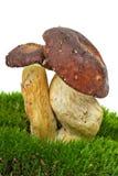 Boletus badius. (Xerocomus badius) mushrooms  growned on the moss. Isolated on the white background Royalty Free Stock Photo