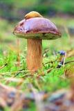 Boletus badius Royalty Free Stock Images